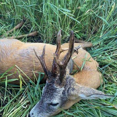 Őzbak vadászatok április végétől