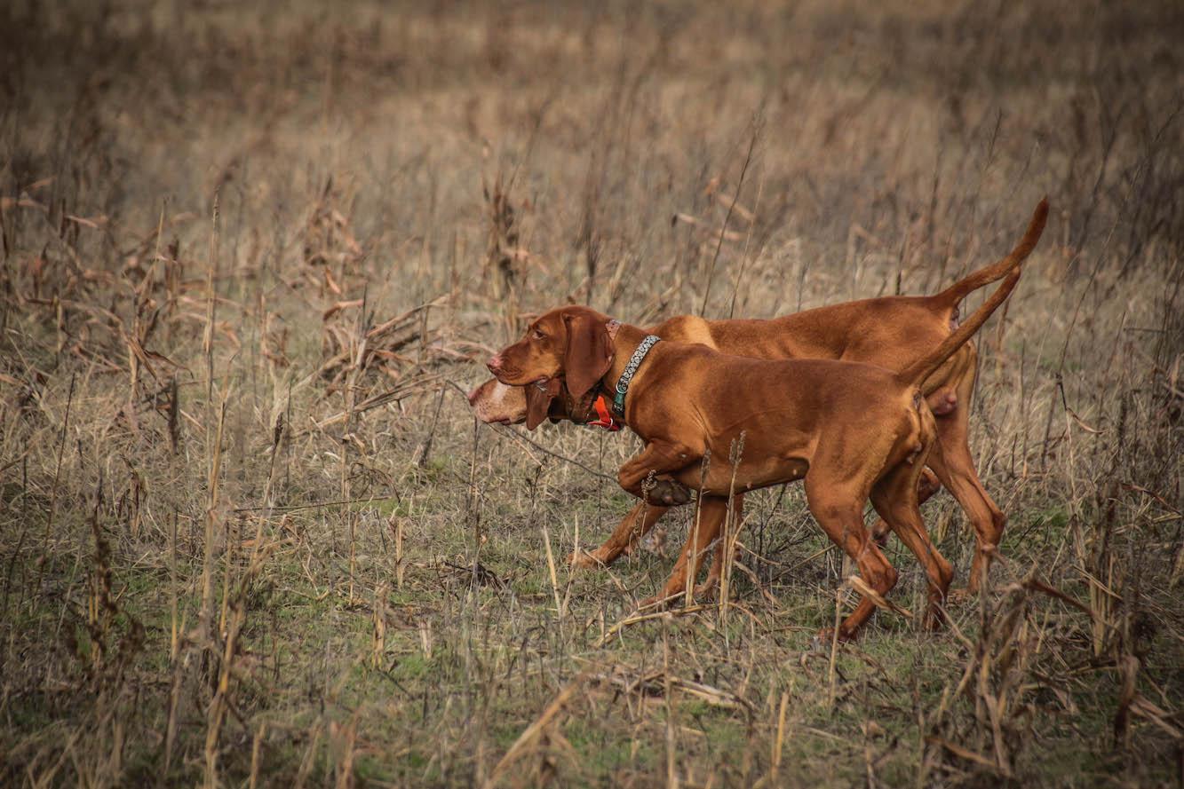 Nívós fácán vadászatok Cegléden leköthetőek