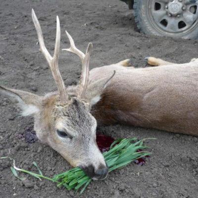 Őzbak vadászat Kunmadarason