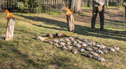 Nívós fácán és fogoly vadászatok Cegléden leköthetőek