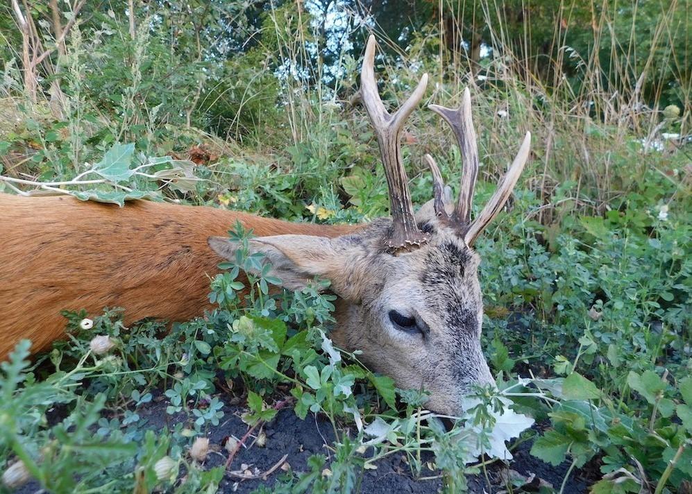 Őzbak vadászat Tiszavasvári