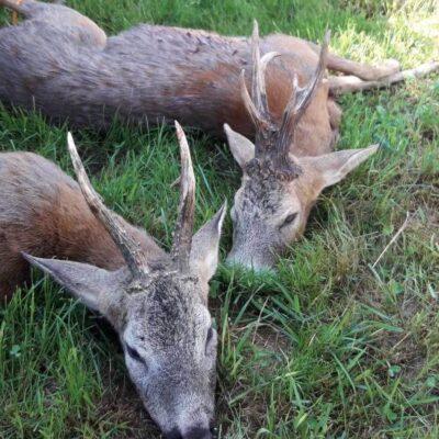 Őzbak vadászat Nagyszokolyon - Somogy megye