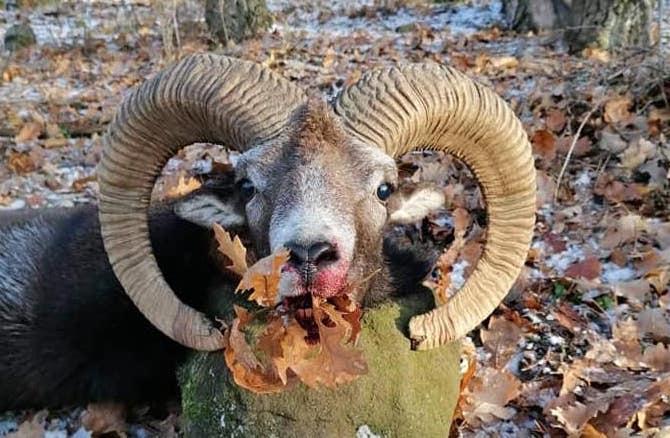 Moufflon Ram hunting – at Gyöngyös, North from the Great plain – eastern Hungary