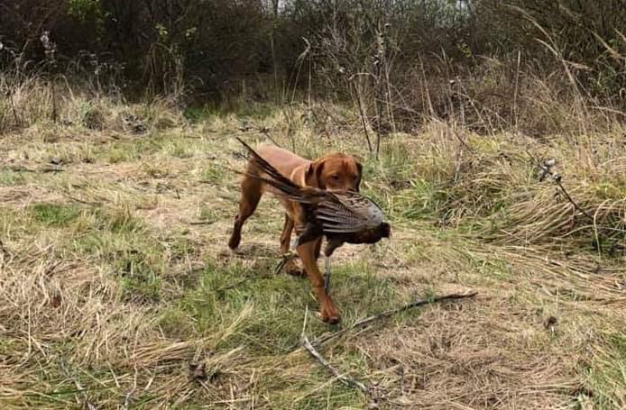 Fácán vadászat Cserkeszőlőn, a Tiszazugban