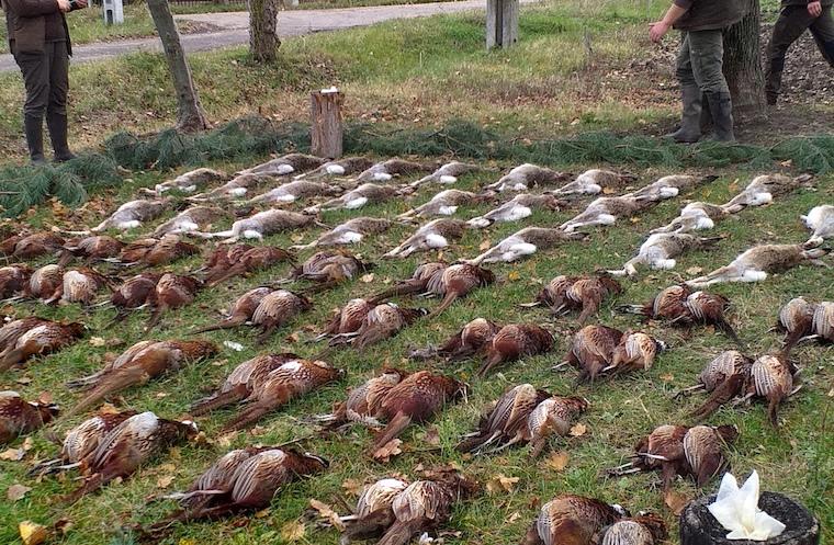Nyúl és fácánkakas vadászat Makó határában