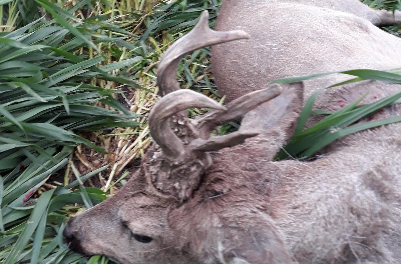Őzbak vadászat Orosháza határában