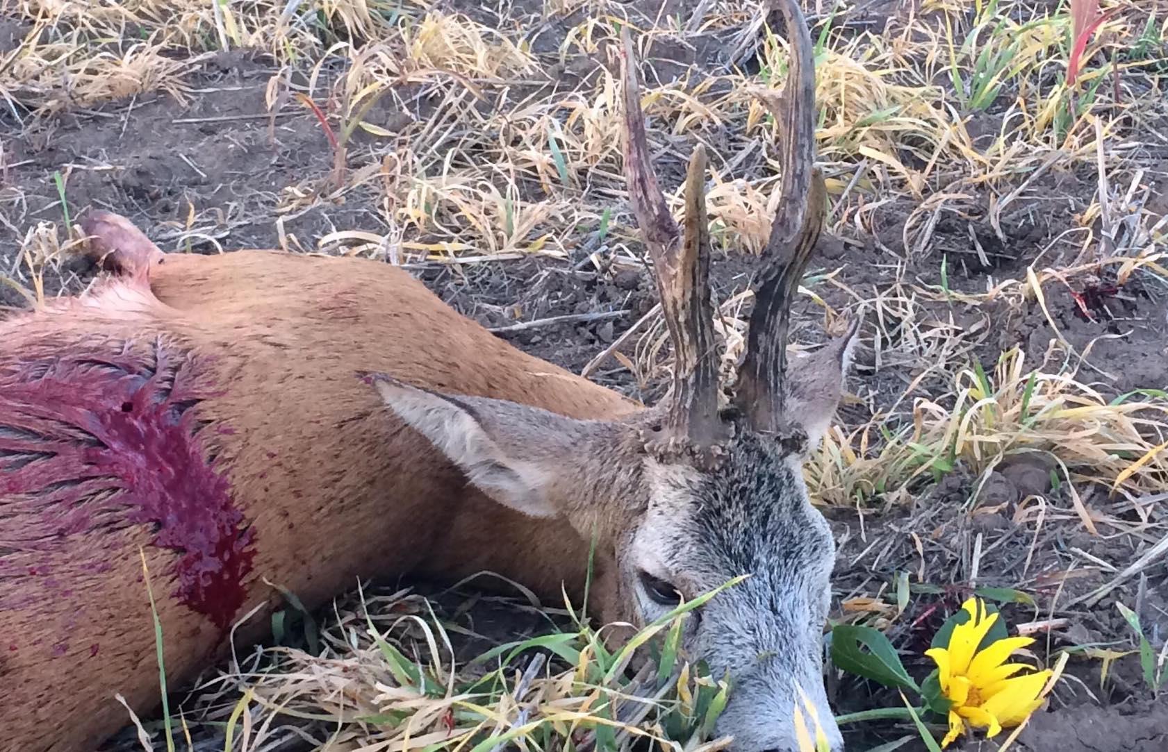 Őzbak (csak 400gr felett) és tarvad vadászat