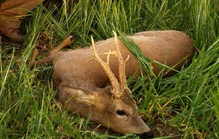 Őzbak vadászat Makó határában