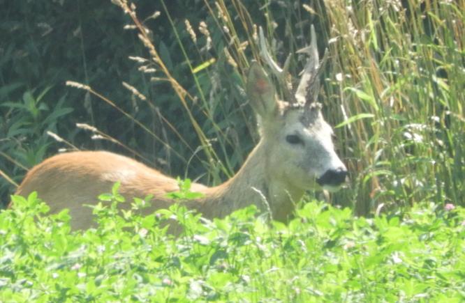 Őzbakvadászat a Vas megyei Nagytilajon