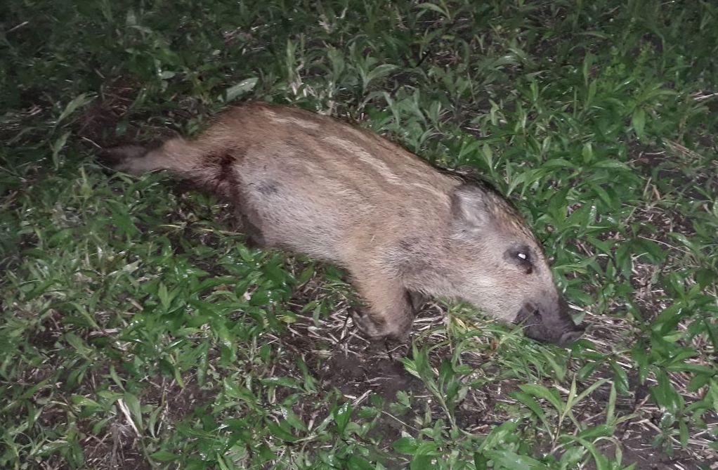 Vadkárelhárítás és vaddisznó vadászat a Kisbalatonnál
