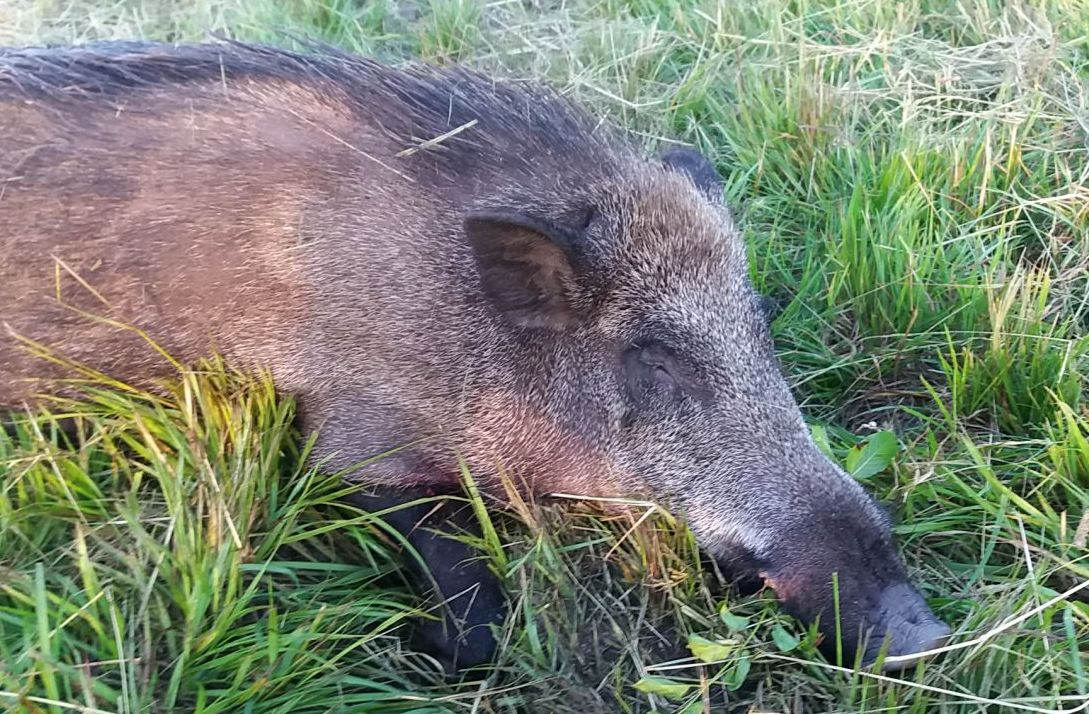 Game damage prevention and wild boar hunting at Kisbalaton – western Hungary
