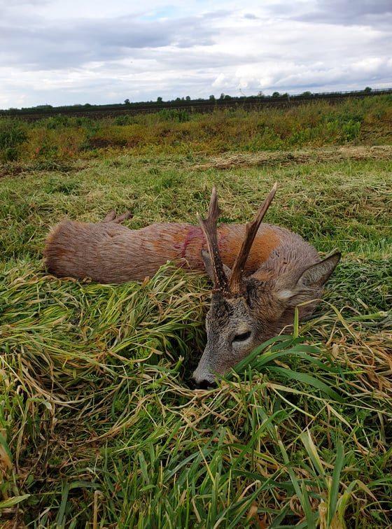 Őzbak vadászati lehetőség