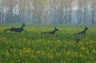 Őzbakok a Hortobágy mellett, a legendás Bánó tanyán