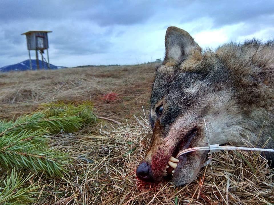 Farkas vadászat Szerbiában – előjegyzés